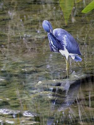 Photograph - Tri-colour Heron by Peggy King