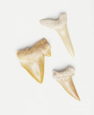 Photograph - Triangular Animal Teeth by Dorling Kindersley