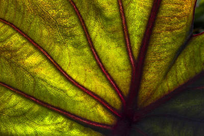 Caladiums Photograph - Tributaries by Debra and Dave Vanderlaan
