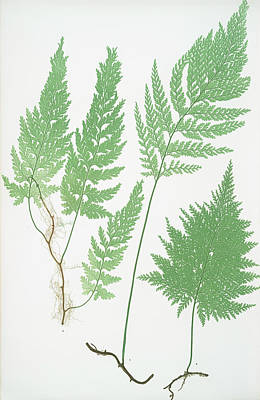 Fern Drawing - Trichomanes Radicans by Litz Collection