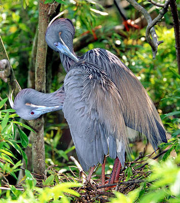Photograph - Tricolor Heron Adults Preening by Millard H. Sharp