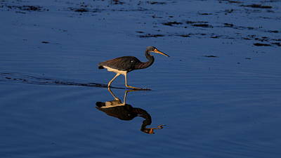 Sports Royalty-Free and Rights-Managed Images - Tricolor Heron by David Tennis