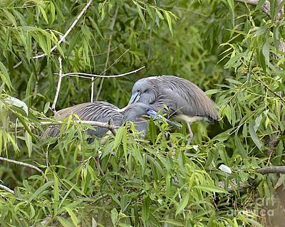 Photograph - Tricolor Herons Nesting by Carol  Bradley
