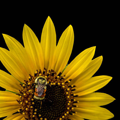 Photograph - Tricolored Bumble Bee On A Sunflower by Ernie Echols
