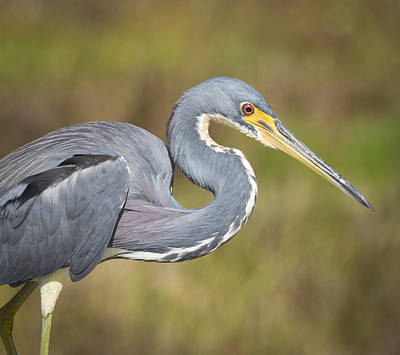 Photograph - Tricolored Heron by Chris Reed