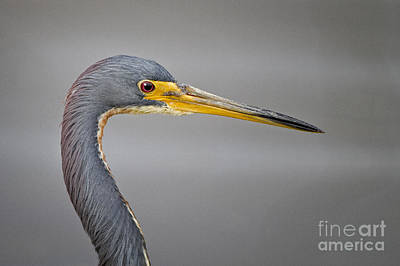 Photograph - Tricolored Heron by Ronald Lutz