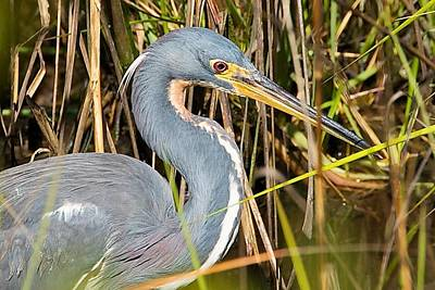 Photograph - Tricolored Heron by Stuart Litoff