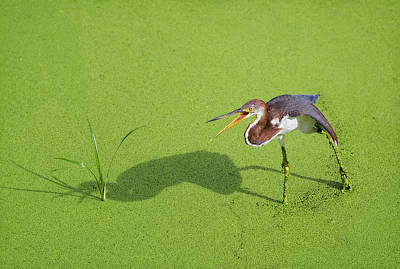 Tri-colored Heron Photograph - Tricolored On Green by Patrick M Lynch
