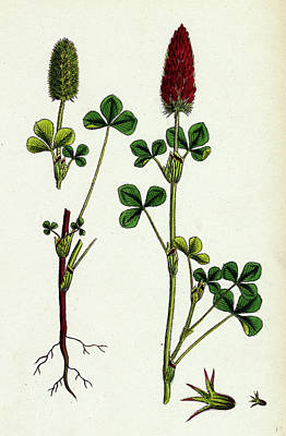 Crimson Clover Drawing - Trifolium Eu-incarnatum Crimson Clover by English School