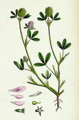 Botanica Drawing - Trifolium Maritimum Teasel-headed Trefoil by English School