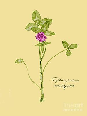 Drawing - Trifolium Pratense by Alexa Szlavics