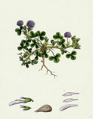Trifolium Resupinatum Reversed-flowered Trefoil Print by English School