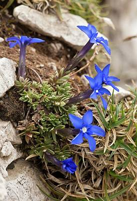 Gentian Photograph - Triglav Gentian (gentiana Terglouensis) by Bob Gibbons