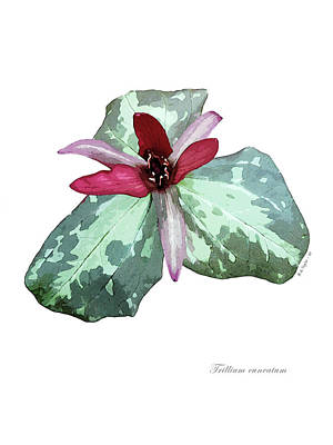 Digital Art - Trillium 2 by Helene U Taylor