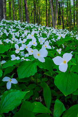 Photograph - Trillium Forever by Thomas Pettengill