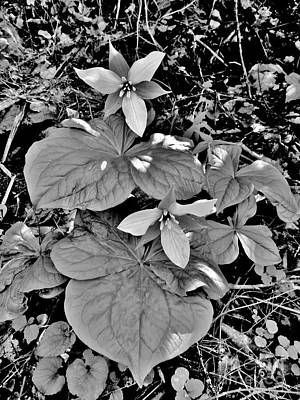 Photograph - Trillium Of A Kind by Hominy Valley Photography