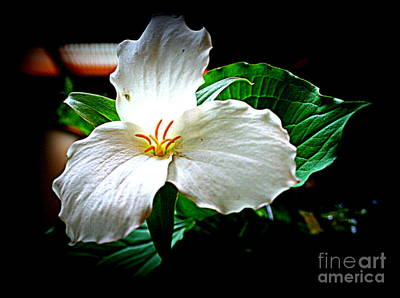 Photograph - Trillium Wildflower  by Kay Novy