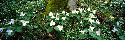 Trillium Wildflowers On Plants, Chimney Art Print by Panoramic Images