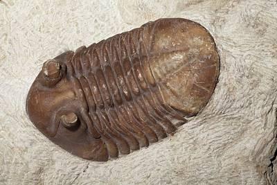 Trilobite Photograph - Trilobite by Dirk Wiersma