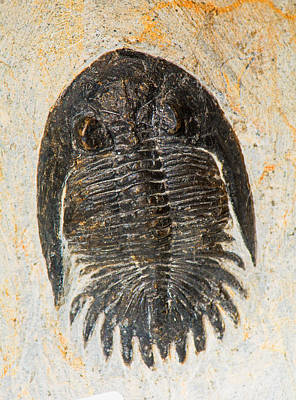 Photograph - Trilobite Kayserops by Millard H. Sharp