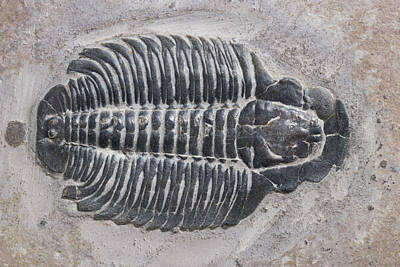 Photograph - Trilobite by Robert J. Erwin