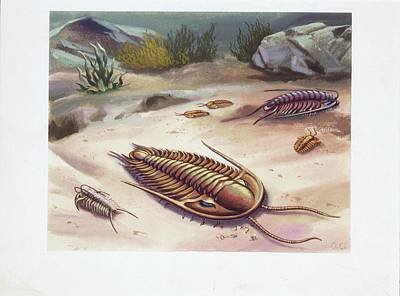 Trilobite Photograph - Trilobites by Deagostini/uig