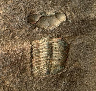 Trilobite Photograph - Trimerocephalus Trilobite Fossil by Dorling Kindersley/uig
