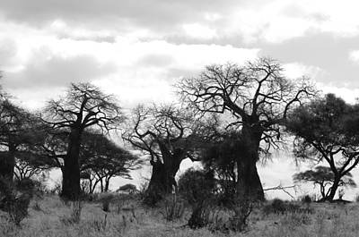 Evocative Photograph - Trio Of Baobabs Kenya by Tom Wurl