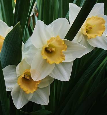 Trio Of Daffodils Art Print by Bruce Bley