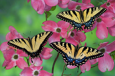 Blue Swallowtail Photograph - Trio Of Eastern Tiger Swallowtail by Darrell Gulin