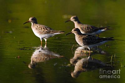Sandpiper Photograph - Trio Of Lesser Yellowlegs by Larry Ricker
