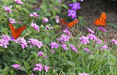 Relaxation Photograph - Trio Of Passion Butterflies by Cathy Lindsey