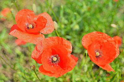 Trio Of Poppies Original by Patrick Pestre