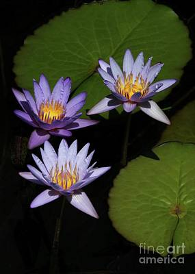 Trio Of Purple Water Lilies Art Print by Sabrina L Ryan