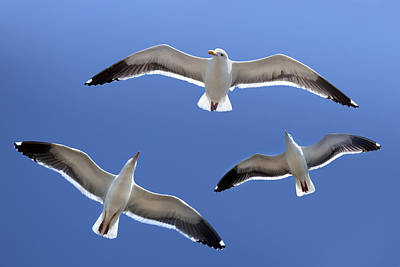 Robert Jensen Photograph - Trio Of Seagulls In Flight  by Robert Jensen