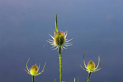 Photograph - Trio Of Teasels by Tony Murtagh