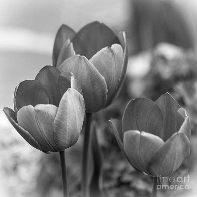 Photograph - Trio Of Tulips. by Clare Bambers