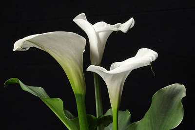 Valentines Day - Trio of white Calla lilies by Harold Rau