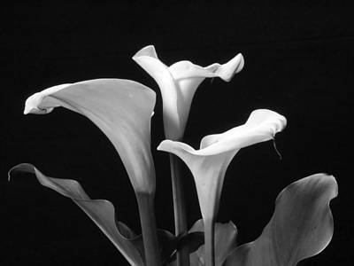 Photograph - Trio Of White Calla Lilies In Black And White by Harold Rau
