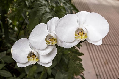 Digital Art - Trio Of White Orchids by Photographic Art by Russel Ray Photos