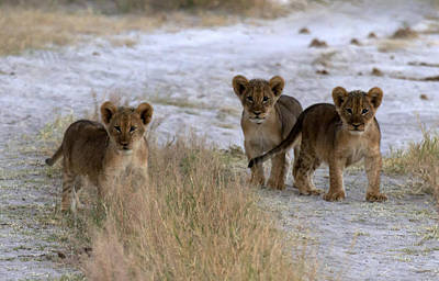 Trio Of Young Lion Cubs Original by James Hammick