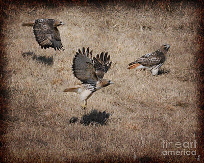 Red Tail Hawk Photograph - Trio - Red Tailed Hawks by Jai Johnson