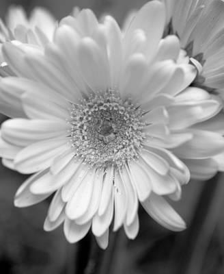 Photograph - Triple Bloom Gerbera B W by Sheri McLeroy