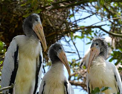 Photograph - Triplet Wood Stork Nestlings by Richard Bryce and Family