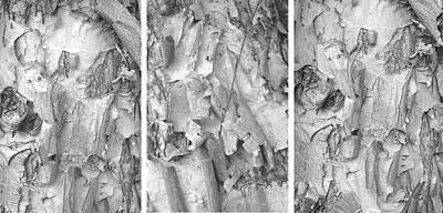 Triptych Of Curling Tree Bark In Black And White With A White Background Art Print
