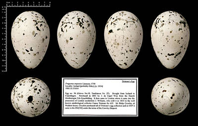 Tristram's Great Auk Egg Art Print by Natural History Museum, London