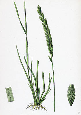 Botanica Drawing - Triticum Pungens Erect Sea Couch-grass by English School