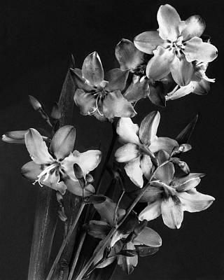 Photograph - Tritonias by J. Horace McFarland