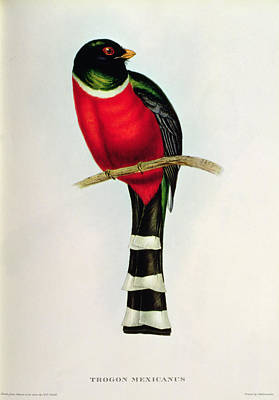 Nature Study Drawing - Trogon Mexicanus by John Gould