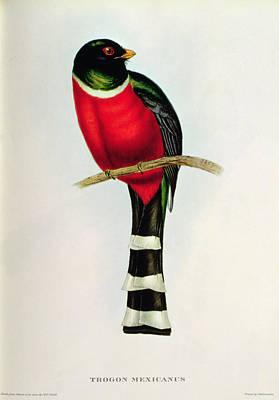 Stripe Drawing - Trogon Mexicanus by John Gould